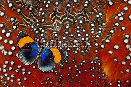 peruvian asterope butterfly on tragopan body