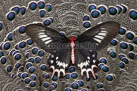 female bat winged butterfly on grey