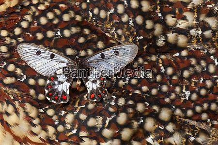 cressida cressida butterfly on tragopan back
