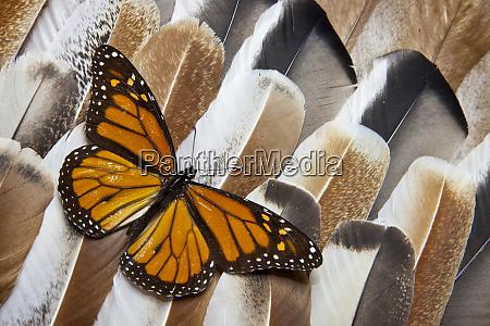 monarch butterfly on turkey feather design