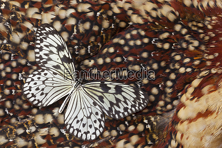 paper kite butterfly on tragopan back
