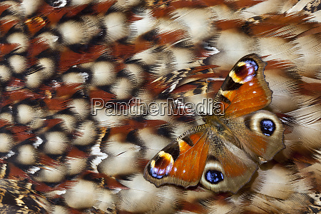 inachis io butterfly on tragopan back