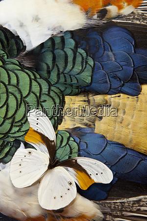 taenaris schoenbergi butterfly on lady amherst