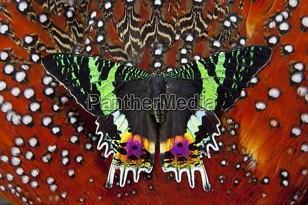 madagascan sunset moth on tragopan body