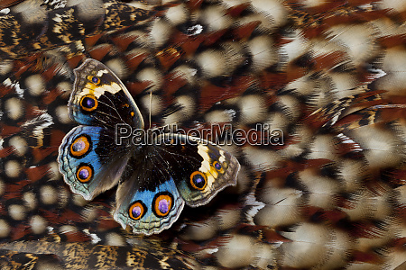 pansy butterfly on tragopan back feather