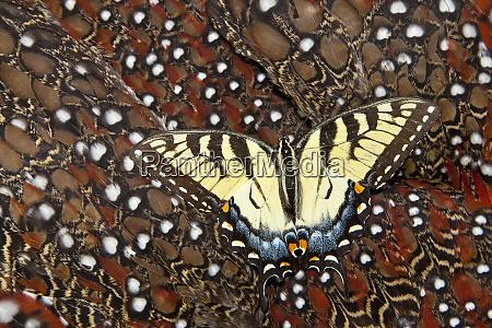 north american female eastern tiger swallowtail