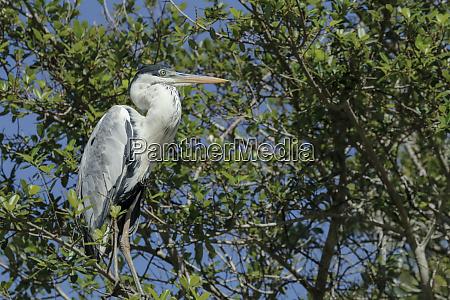 pantanal mato grosso brasilien cocoi heron