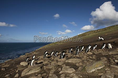 falkland islands rockhopper penguins moving over