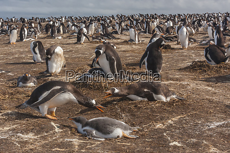 south america falkland islands sea lion