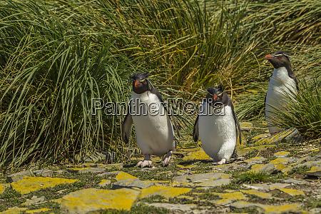 falkland islands bleaker island rockhopper penguins