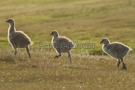 falkland islands bleaker island upland goose