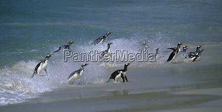 gentoo penguins pygoscelis papua coming ashore