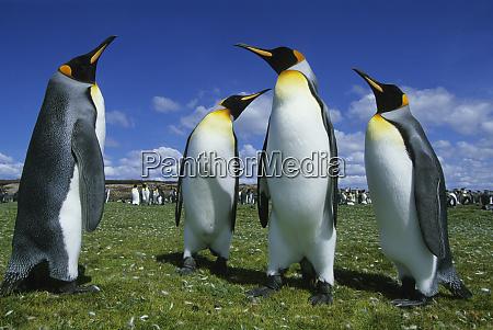 king penguin aptenodytes patagonicus volunteer point