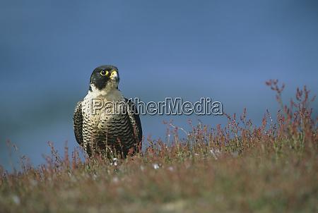 peregrine falcon falco peregrinus cassini sea
