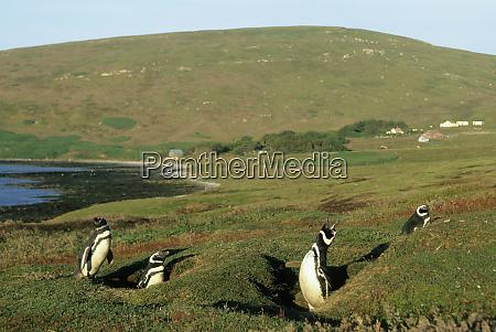 falkland islands carcass island settlement magellanic