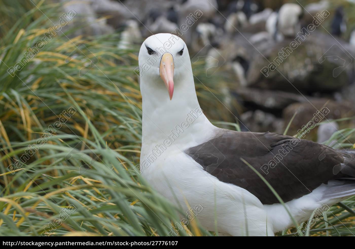 falklandinseln., west, point, island., schwarzbrauner, albatros - 27776107