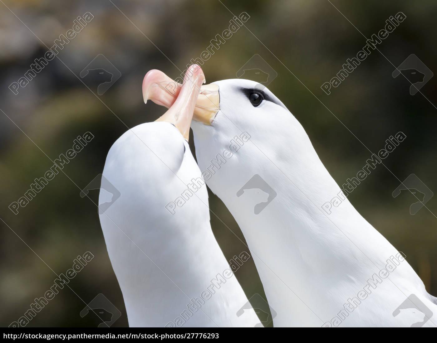schwarzbrauner, albatros, oder, schwarzbrauner, mollymawk, (thalassarche - 27776293