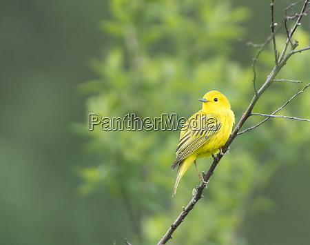 usa washington state breeding plumage male