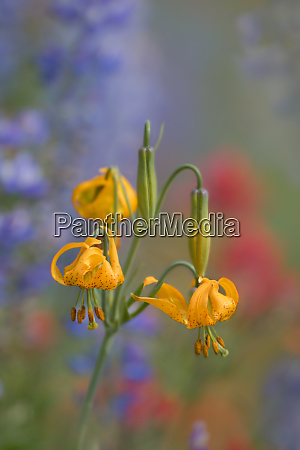 usa washington state columbia lily lilium