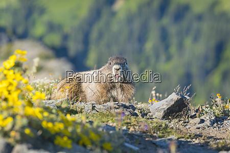 usa washington state hoary marmot marmota