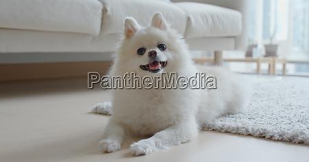 weisser pommerscher hund zu hause