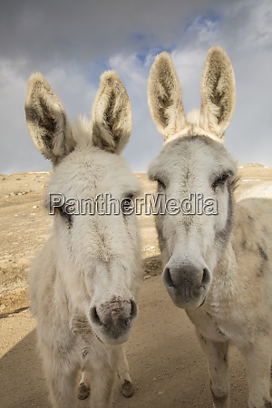 usa, colorado, south, park., nahaufnahme, von, wilden, burros. - 27784766