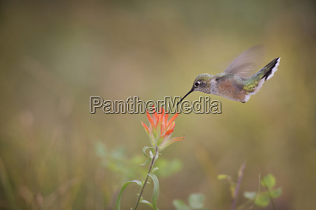 usa colorado woodland park broad tailed