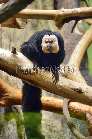 usa oregon portland white faced saki