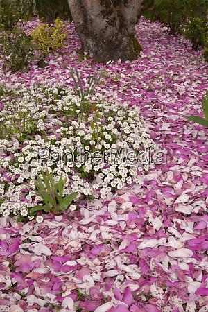 usa oregon portland alyssum flowers and