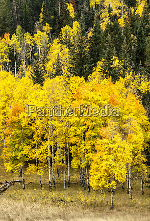 aspen leaves turning near the colorado