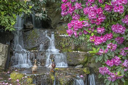 usa oregon portland crystal springs rhododendron