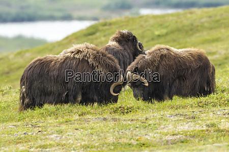 usa alaska nome musk ox bulls