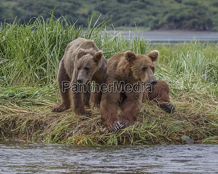 usa alaska katmai national park grizzly