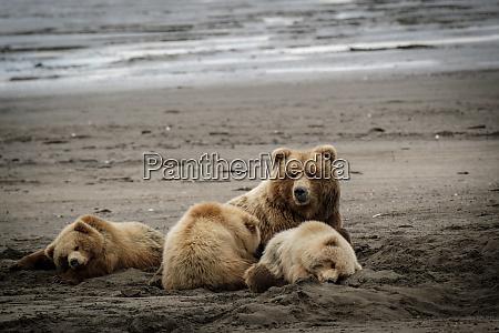 usa alaska grizzly bear cubs