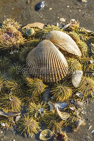 usa alaska clam shell on a