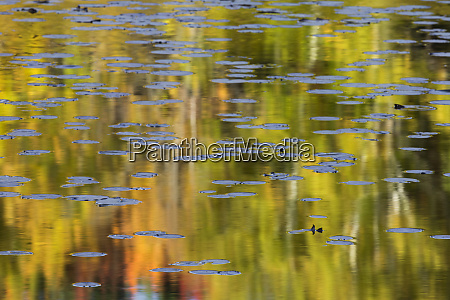 autumn colors and lily pads reflecting
