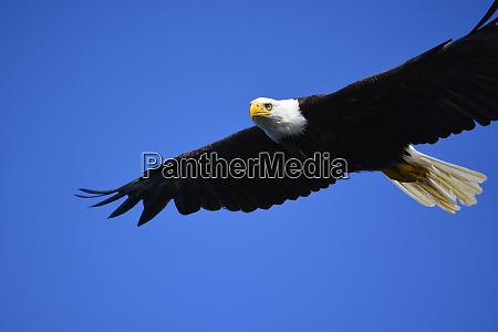usa alaska southeast ketchikan bald eagle