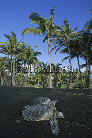 usa hawaii hawaiian green sea turtle