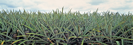 usa hawaii oahu pineapple fields are