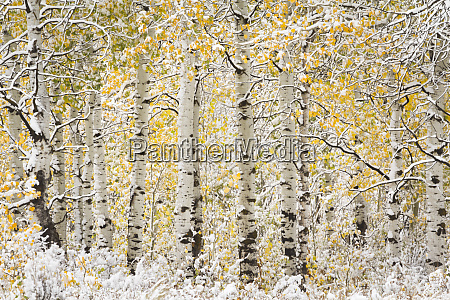 usa wyoming tree trunks under a