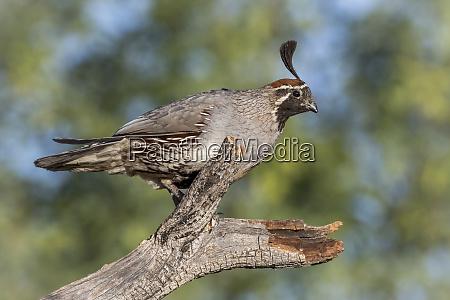 usa arizona amado male gambels quail