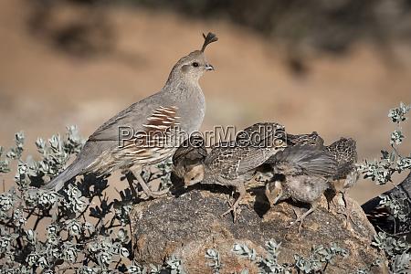 usa arizona amado female gambels quail