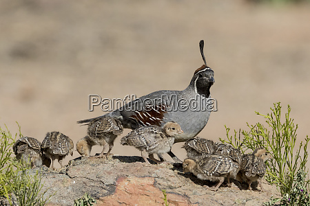 usa arizona amado male gambels quail