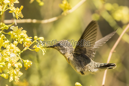 usa arizona sonoran desert hummingbird feeding