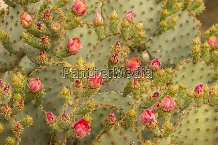 usa, arizona, sonoran-wüste., stachelige, birnenkaktusblüten., bild:, cathy, und - 27819497