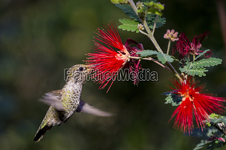 female annas hummingbird at the arizona