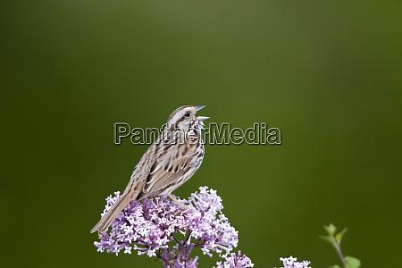 song sparrow melospiza melodia singt auf
