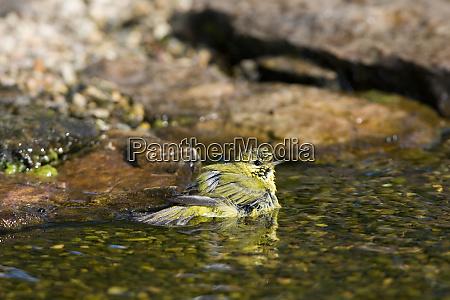 tennessee warbler vermivora peregrina beim baden