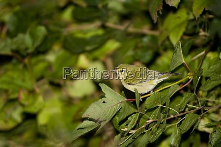 tennessee warbler vermivora peregrina in compact
