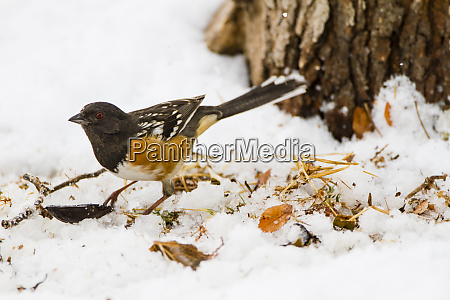 spotted towhee pipilo maculatus feeding in